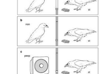 Image shows drawings of ravens.
