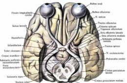 Image shows the visual system in the brain.