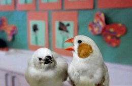 Image shows zebra finches.