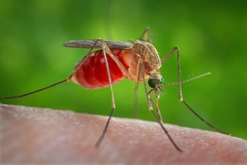 Image shows a mosquito.