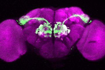 Image shows mushroom bodies in a fruit fly.
