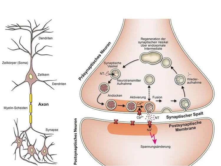 Nerve Synapse How Neurons Talk to Ea...