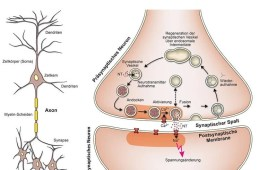 Image shows a neuron and synapse.