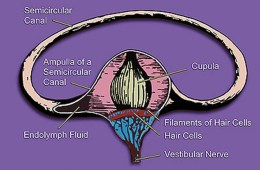 Image shows the vestibular system's semicircular canal- a cross-section.