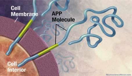 Illustration of the APP molecule spanning a cellular membrane is shown.