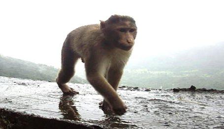 A Rhesus monkey is shown walking.