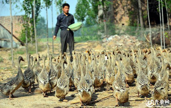 養鴨人。 圖片來源:齊魯網