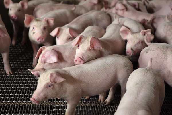 豬肉價格是上漲還是下跌? 圖片來源:上下游