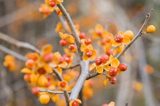 Fall New England Wallpaper Bittersweet Vine Is The Invasive Plant Friend Or Foe
