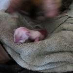 newborn seal point siberian kitten
