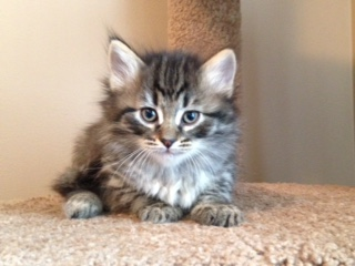 black tabby siberian kitten NH MA