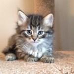 black tabby siberian kitten NH MA