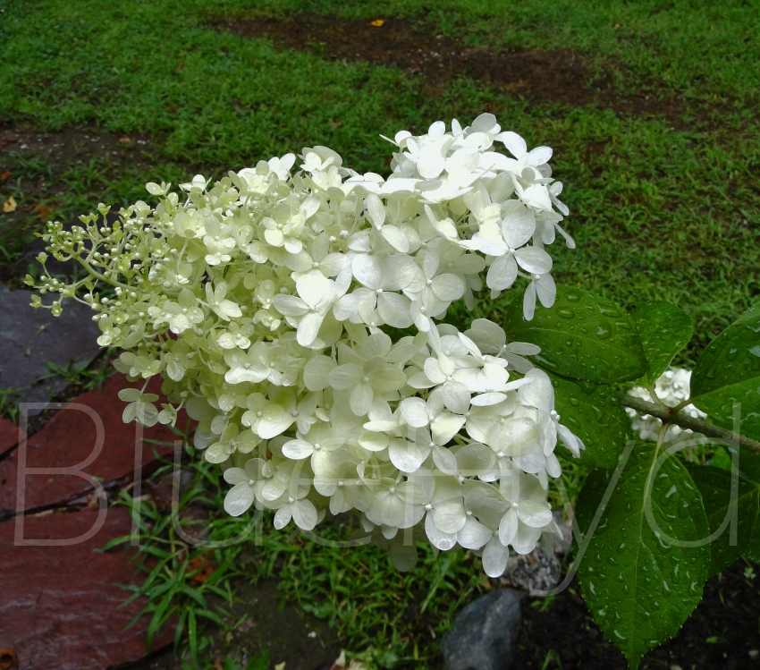 Hydrangea Didn't Flower This Year Pictures Of Hydrangea Flowers – New England's Narrow Road