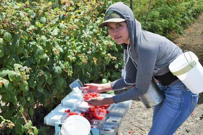 Woman berry picker