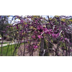 Small Crop Of Rising Sun Redbud