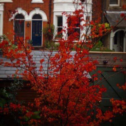 Japanese Maple in the Garden