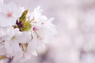 桜のリアルタイム開花情報