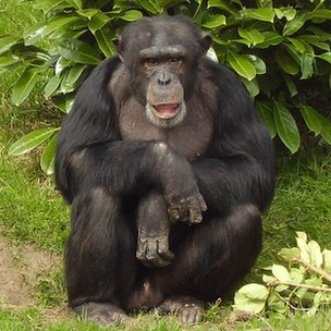 Dylan the chimpanzee (c) Chester Zoo