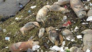 Cerdos muertos a lo largo de Songjiang, Shangai