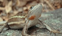 Striped plateau lizard (Sceloporus virgatus). Copyright University of Puget Sound