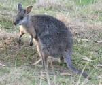 Tammar wallaby Macropus eugenii
