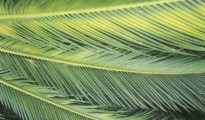 Date palm leaves