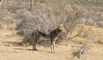 Coyote, Joshua Tree National Park