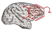 """Nerve cells in the prefrontal cortex (marked) can process """"greater than"""" and """"less than"""" rules better under the influence of dopamine. Image: LS Tierphysiologie/Tübingen University"""