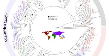 This chart shows the evolutionary relationship between 300 Pheidole species from all over the world. Each species fits neatly into a group by region, showing that. Image Credit: OIST, Japan