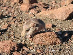 The etendeka round-eared sengi Macroscelides micus was discovered in the remote deserts of Namibia. Image Credit: The California Academy of Sciences