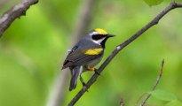 warbler-geolocator410
