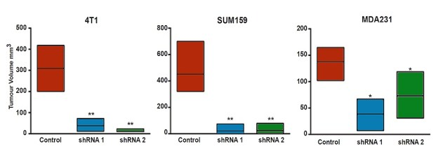 Tumour size in mice is reduced when BCL11A activity is inhibited in human, Triple-Negative Breast Cancer cells 4T1, SUM159 and MSA231. Control (red) is no inhibitory RNA, compared to inhibitory RNA1 (blue; shRNA1) or inhibitory RNA2 (green; shRNA2) [Image credit: Nature communication]