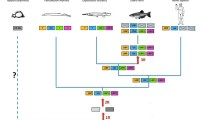 A proposed evolutionary model for the evolution of the UII gene family. Image Credit: Pharmacological Reviews.