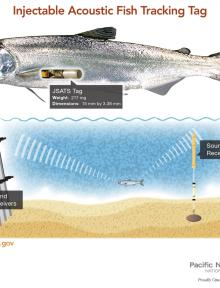 Pacific Northwest National Laboratory's new injectable acoustic fish-tracking tag is so small it can be inserted into a fish with a syringe. The new tag is three times lighter than earlier versions, making it safer for fish and able to more accurately record fish passage through dams. Image credit: PNNL