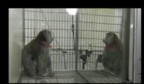Mirror monkey