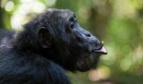 Chimpanzees grunt calls