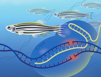 NHGRI scientists are homing in on specific genes in zebrafish to help them better understand the function of genes in people. Image Credit: Darryl Leja, NHGRI/NIH