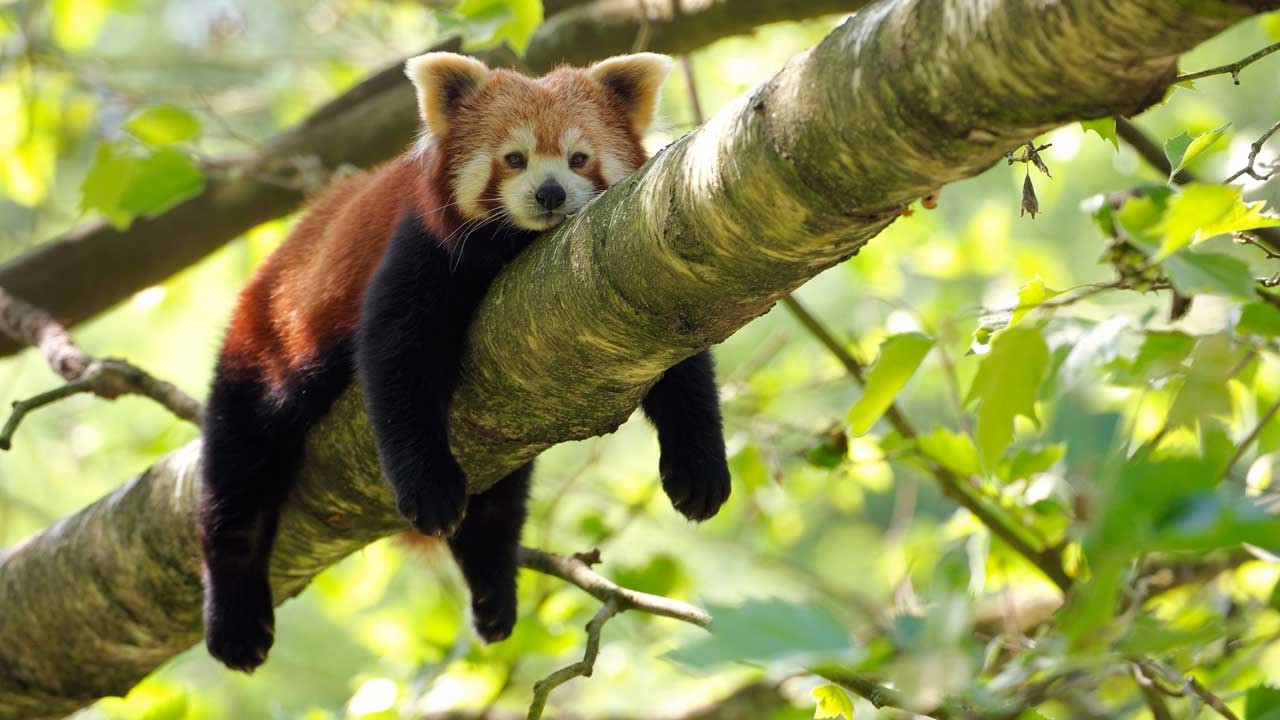 Cute And Wallpapers Report Low Scale Demand For Red Panda Products Still