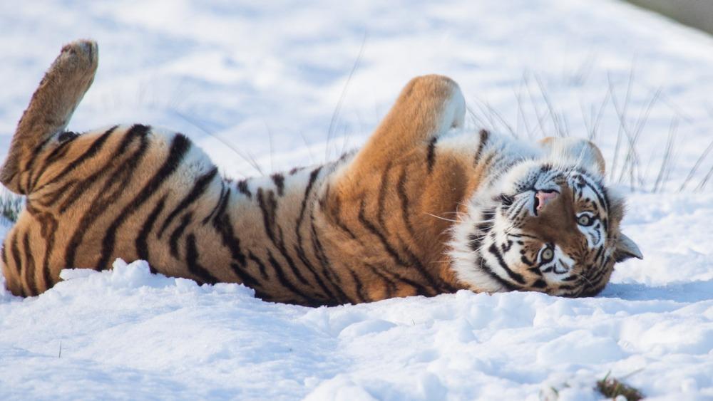 Fall In Central Park Wallpaper Tigers Enjoy The Snow Fall Granada Itv News