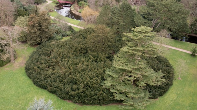 Image result for shugborough yew tree