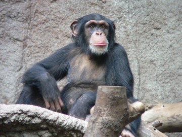 Q&A with Hilda Tresz: A Guardian Angel for Captive Chimps