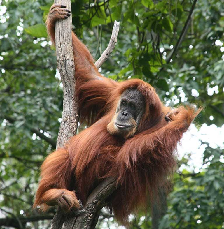 Even charismatic megafauna like Asia's orangutan continue to struggle to survive. Things are just as perilous, or worse, for Asia's Almost Famous animals. Photo by Greg Hume CC BY-SA 3.0