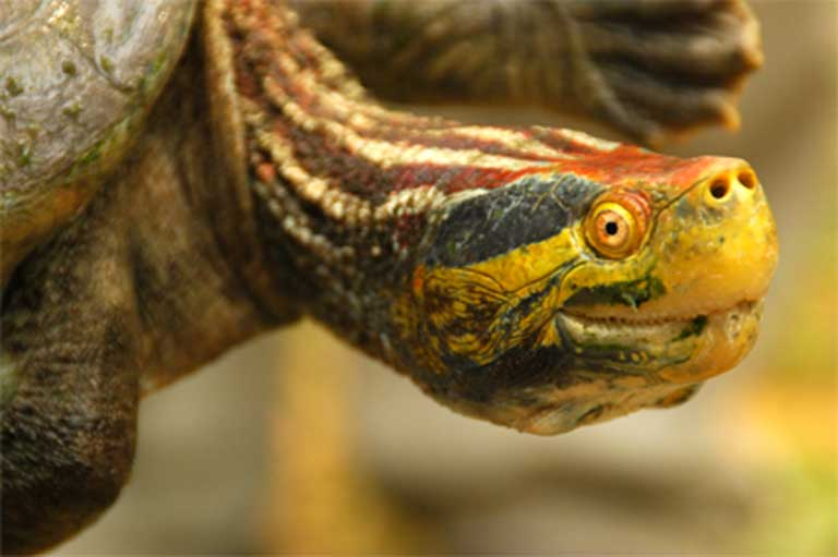 The Red-crowned Roof turtle (Batagur kachuga). Photo courtesy of the Turtle Survival Alliance.