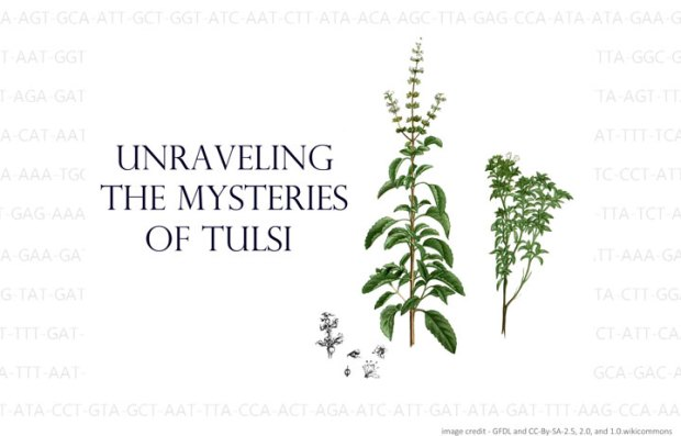 Unraveling the mysteries of Tulsi