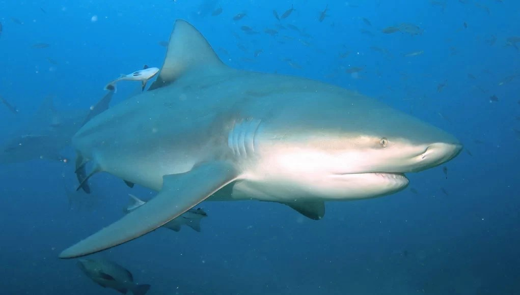 3d Shark Wallpaper The Extraordinary Bull Shark Is Our Creature Of The Month