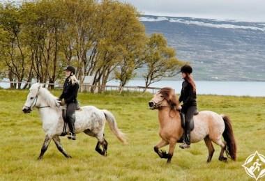 الخيل في ايسلندا