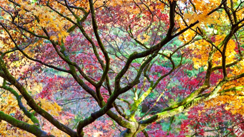Autumn leaves, Westonbirt Arboretum, Gloucestershire, UK