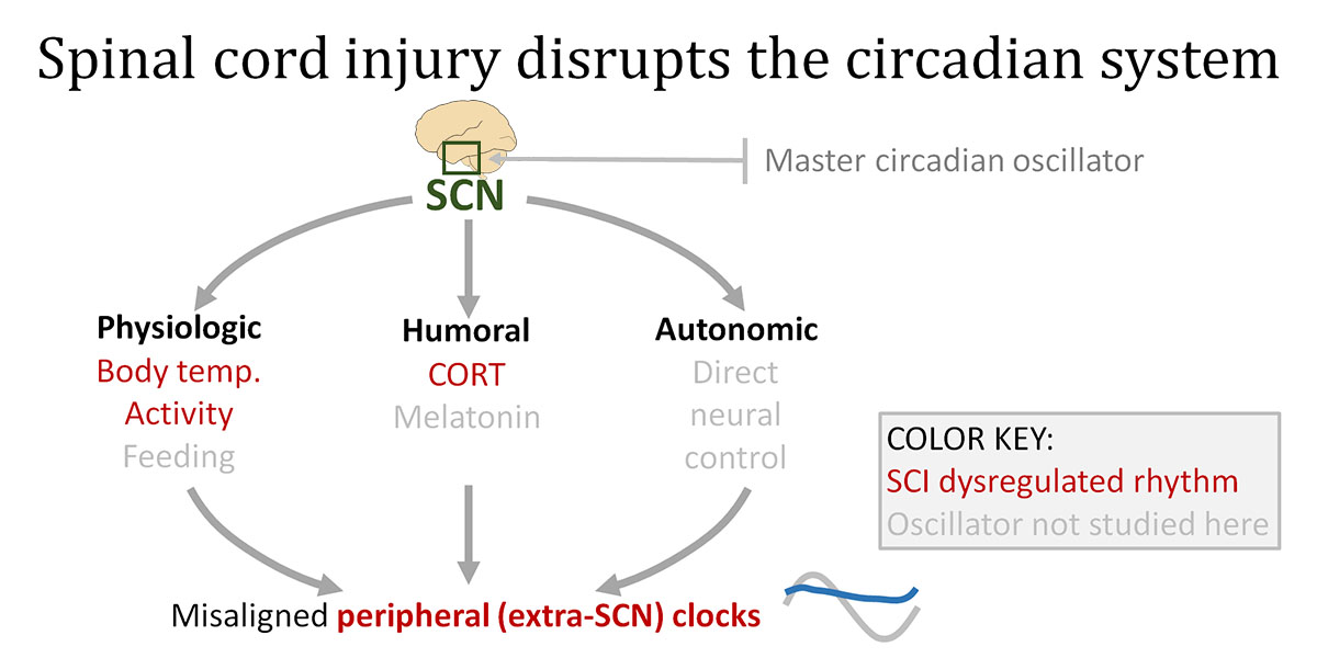 Spinal Cord Injury Could Throw Off Body\u0027s Internal Clock, Study