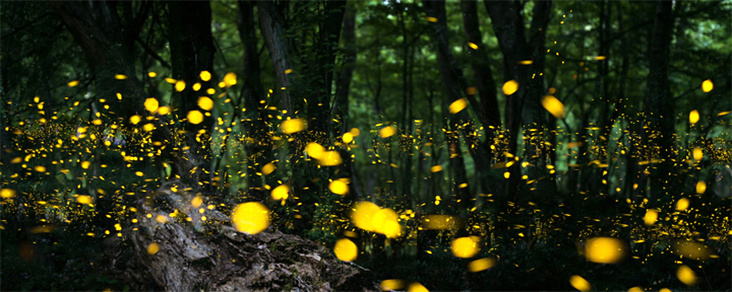 Firefly Insect At Night A Galaxy Of Fireflies Or Not Researchers Study Lighting