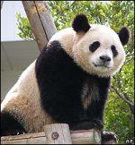 Oso Panda Gigante National Geographic Auto Design Tech